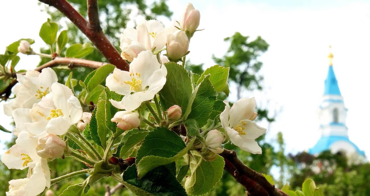 Цветение яблонь на Валааме