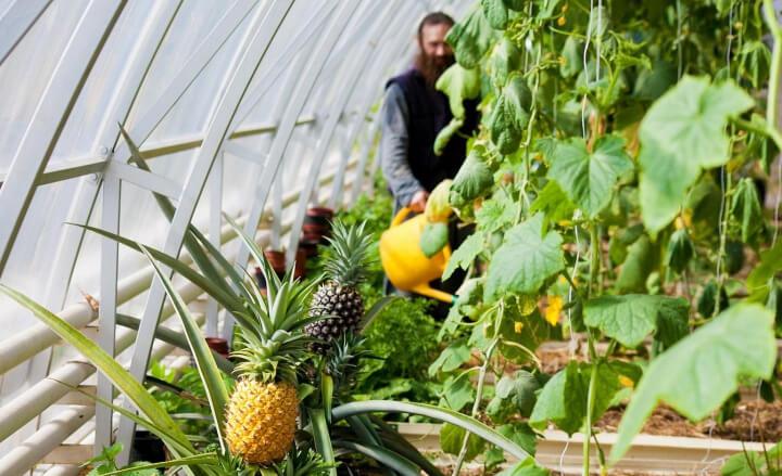 Валаамские теплицы. Здесь вместе с огурцами и перцами соседствуют ананасы.