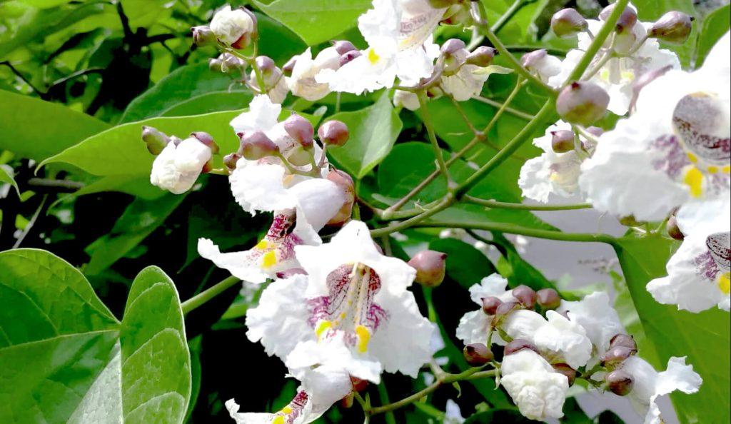 Цветы катальпы