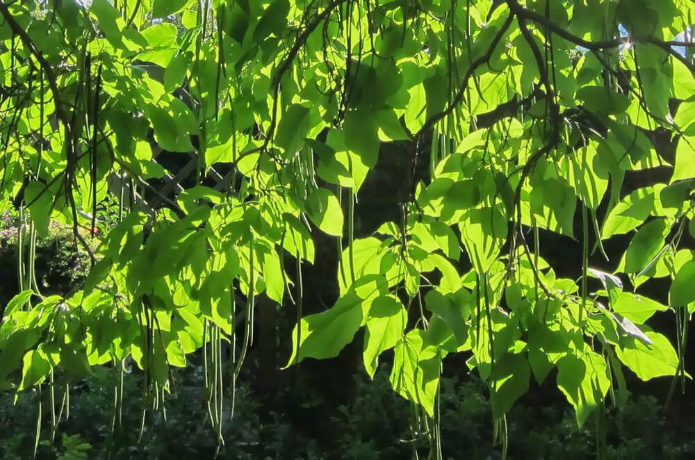 Плоды катальпы имеют форму стручков, длинной до 50 см. Из-за чего дереву дали прозвище «макаронное дерево»