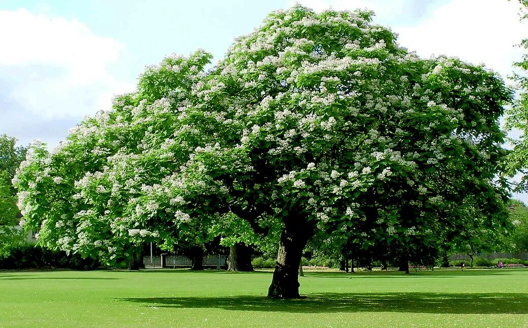 Цветение катальпы в июне
